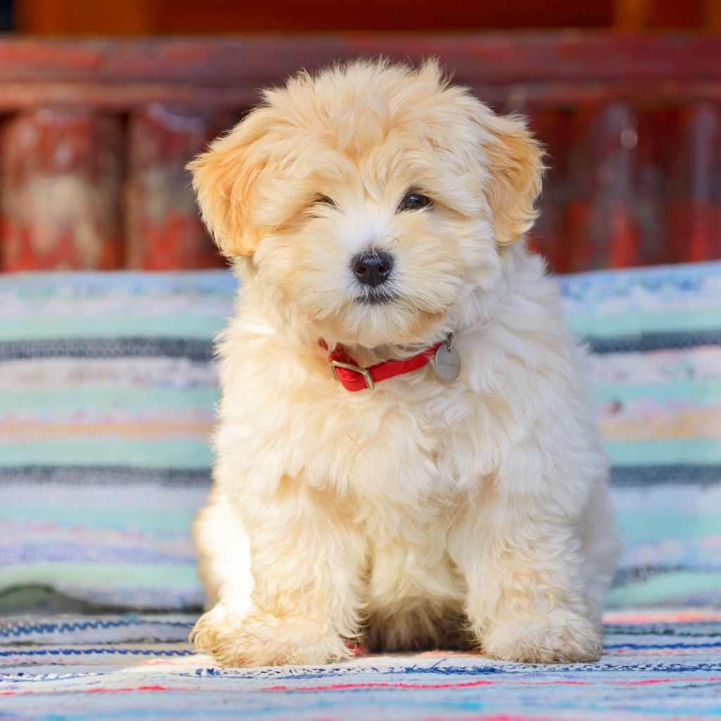 Havanese Puppies For Sale Petland Great Lakes