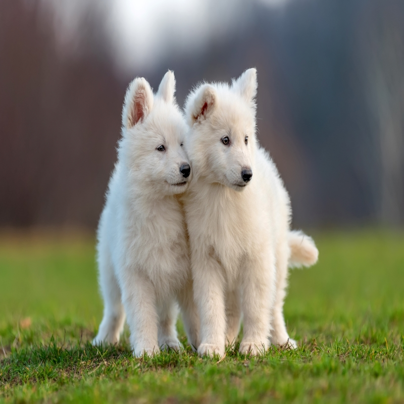 Puppies For Sale Great Lakes Michigan Shop Now